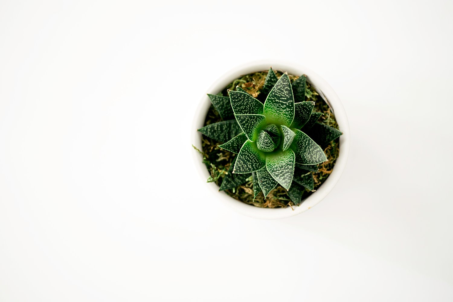 close up photo of a succulent on a white background
